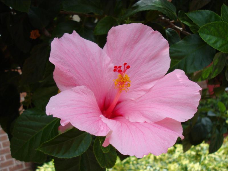 Cette fleur magnifique se reconnaît notamment au long pistil orangé qui s'en échappe. C'est... ?