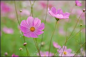 Ce sont de très jolies fleurs, très simples, portées par de longues tiges très fines, et qui balancent grâcieusement dans le vent. On les appelle... ?