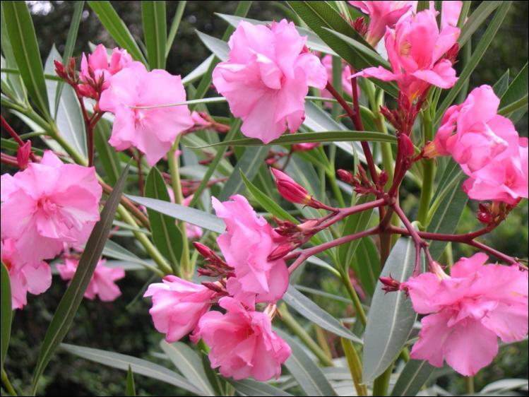 Quizz la nature est rose les fleurs quiz fleurs nature - Arbuste fleur rose ...