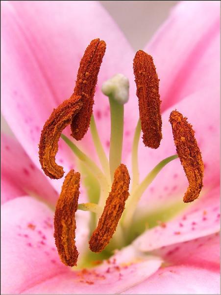 Reconnaissable à ses étamines oranges qui colorent fortement, quelle est cette très belle fleur ici en rose ?