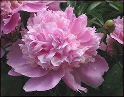 Très symbolique des fleurs roses, voici l'une des fleurs emblèmes du Japon, une fleur somptueuse aux pétales soyeux, dont la fin de floraison est aussi poétique et belle que la floraison elle-même. C'est... ?