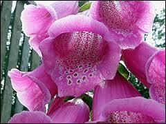 Ces lourdes clochettes sont des fleurs de grande hauteur, qui sont utiles à la médecine, comme la plupart des plantes. C'est... ?