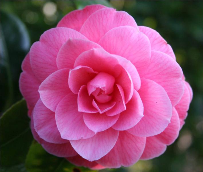 quizz la nature est rose les fleurs quiz fleurs nature. Black Bedroom Furniture Sets. Home Design Ideas