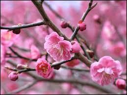 Chaque année, le printemps couvre les arbres de fleurs, entre blanc et rose, et crée un paysage de rêve. L'un des plus jolis fruitiers à cette période, ici d'ornementation, est... ?