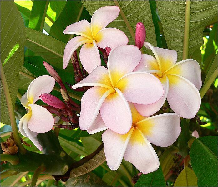 C'est l'une des plus belles fleurs du monde, au parfum le plus suave, proche du jasmin. Elle pousse sur un arbre, dont on dit en Asie qu'il serait immortel. Cette plante magnifique porte le nom de ?