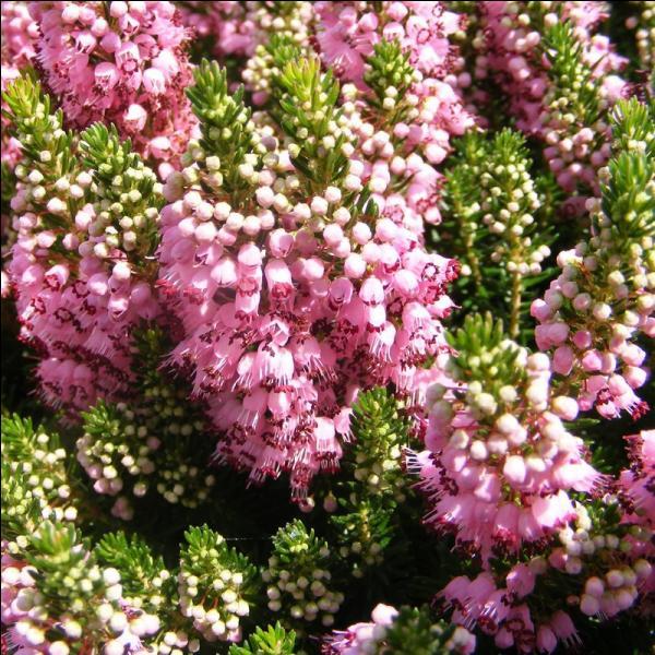 Rosée ou blanche, elle couvre les landes en général. Victor Hugo l'a célébrée à sa façon dans un poème souvenir. Quelle est cette petite fleur ?