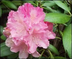 Cette magnifique fleur de montagne, qui forme des buissons splendides, existe dans toute la gamme des rouges, roses et mauves. C'est ?