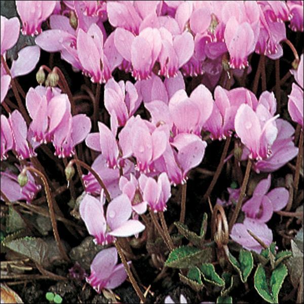 Cette très belle fleur couvre-sol des montagnes orne de ses couleurs vives nos maisons, souvent l'hiver. Quelle est-elle ?
