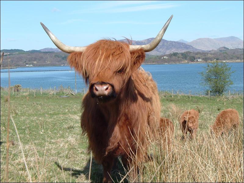 Quelle est cette vache ?