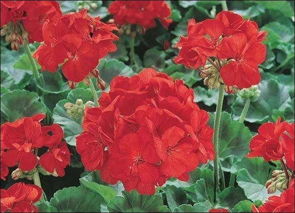 quizz des fleurs rouges quiz fleurs plantes nature. Black Bedroom Furniture Sets. Home Design Ideas