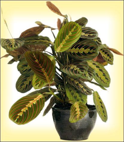 quizz les noms populaires des plantes d 39 int rieur quiz plantes. Black Bedroom Furniture Sets. Home Design Ideas