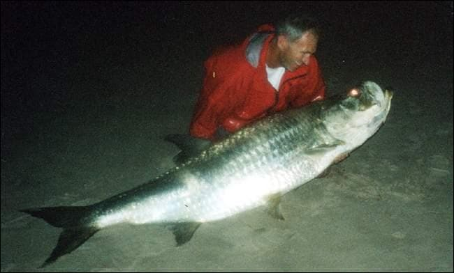 Ce grand poisson argenté est présent dans les mers chaudes, il fait la joie des vrais pêcheurs sportifs, qui le remettent systématiquement à l'eau !