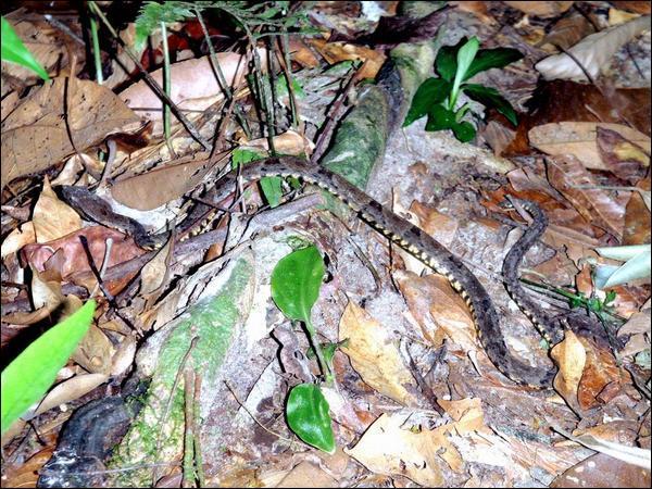 Une fois sa proie mordue, un serpent protérodonte venimeux ...