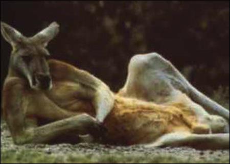 Bien entendu vous reconnaissez le kangourou d'Australie, il en existe plusieurs espèces, dont une moins connue que les autres !