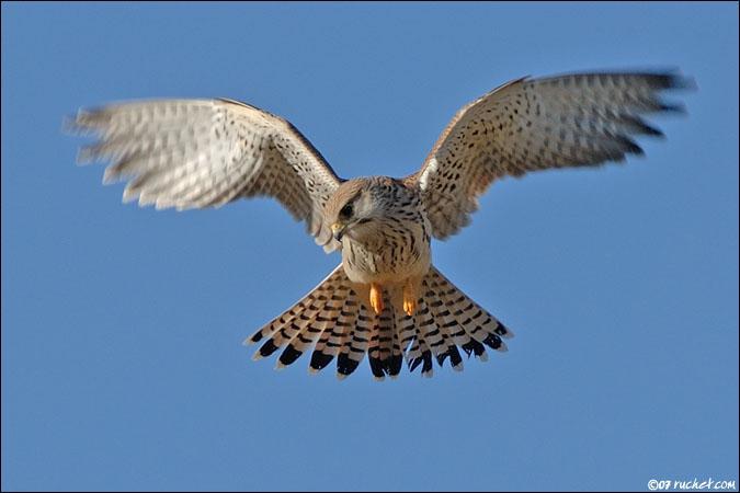 Le faucon crécerelle chasse en vol stationnaire, comment repère-t-il les rongeurs ?
