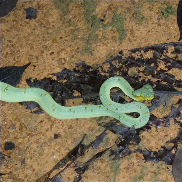 Ce serpent est un Jacquot d'Amérique, il est arboricole, mais d'autres espèces ...