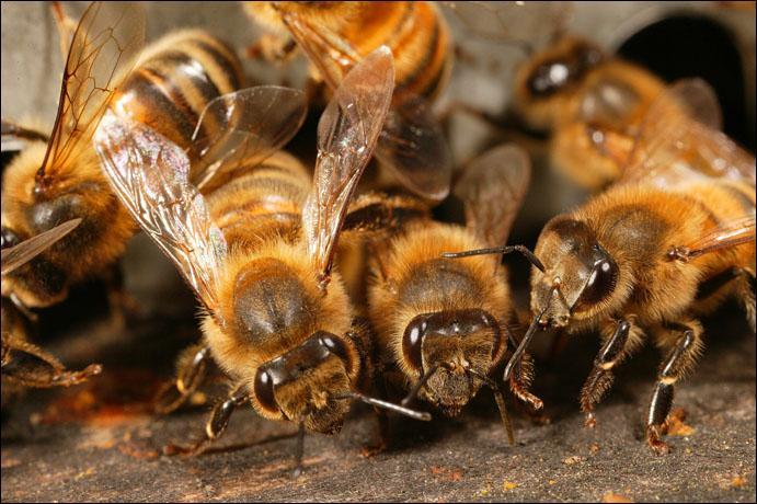 Chez les abeilles, la majorité des espèces ...