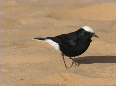 Comment les touaregs appellent-ils cet oiseau du désert dont le vrai nom est le  traquet à tête blanche  ?