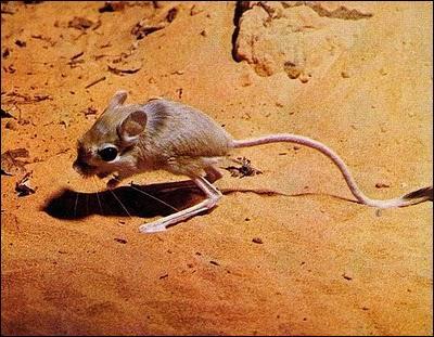 Quel est ce rongeur, présent dans le désert saharien ?