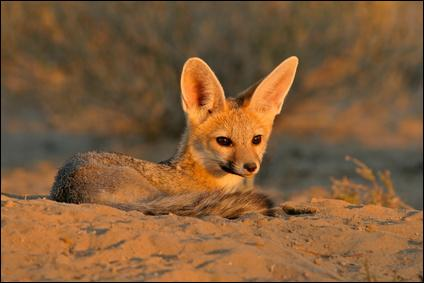 Comment s'appelle ce joli animal à grands oreilles qu'on peut rencontrer dans le désert africain ?
