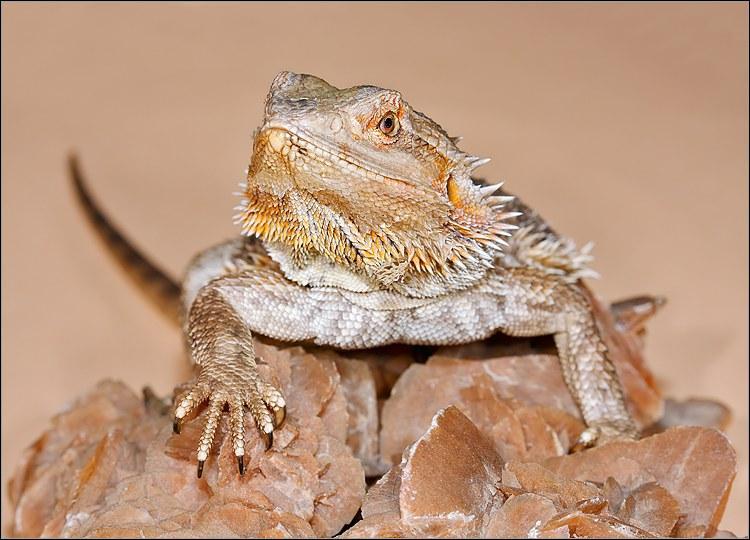 Quel est cet animal, présent dans le désert australien ?