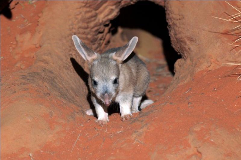 Comment s'appelle ce petit marsupial qu'on peut rencontrer dans le désert australien ?