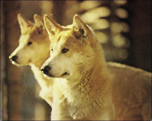 Où peut-on rencontrer le dingo, cet animal apparenté au chien, mais pas pour autant des plus gentils ?