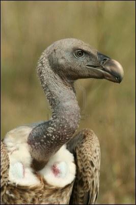 On peut rencontrer cet animal, le vautour à dos blanc, en Afrique. Pourquoi la nature lui a-t-elle fait un long cou étroit ?