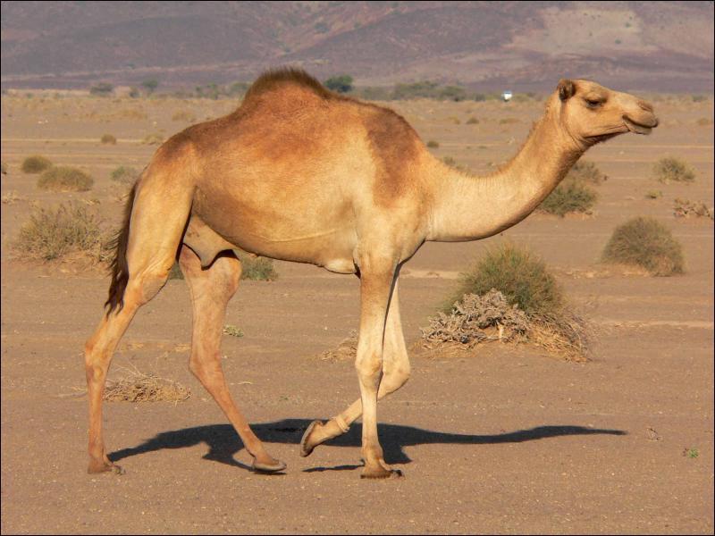 Le dromadaire, présent dans le désert africain, est très connu. Jusqu'à quel âge peut-il vivre ?