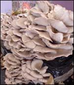 D'après vous, ce champignon est-il comestible ou pas ?