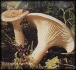 Je croise ces champignons. Que dois-je faire, les cueillir ou pas ?