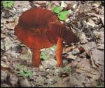 Ce champignon fera l'affaire pour se régaler. Est-il comestible pour une salade ?