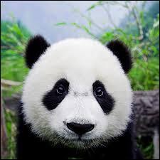 Où peut-on trouver le panda ?