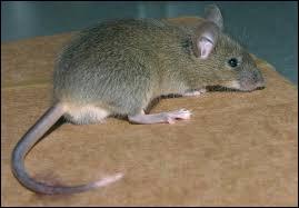 Les souris mangent ----.