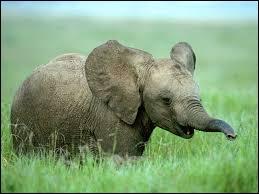 Un éléphant a -----.