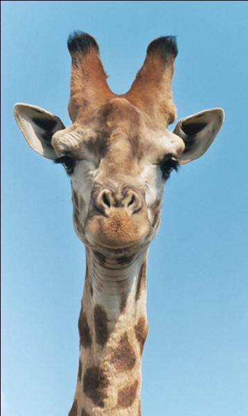 Combien existe-t-il de sous-espèces de girafes ?