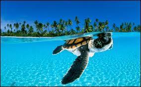 Quelle est la plus grande espèce de tortues marines ?