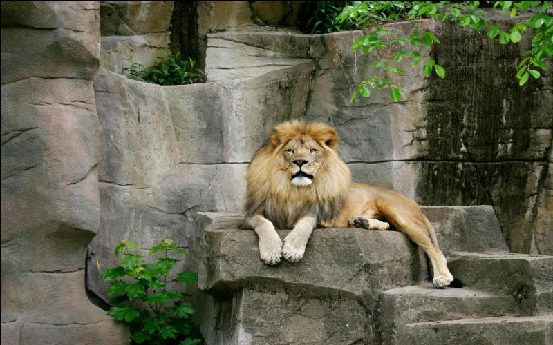 De quelle couleur sont les yeux des lions ?