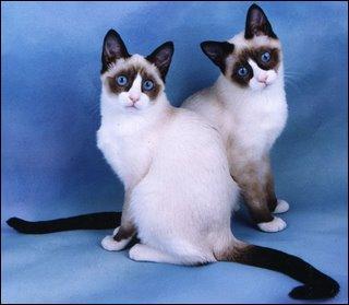 D'où vient ce chat ? C'est un Snowshoe.