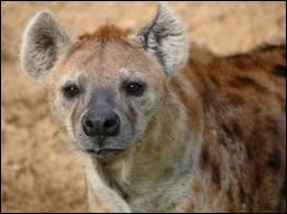 De quelle couleur sont les excréments de hyène ?