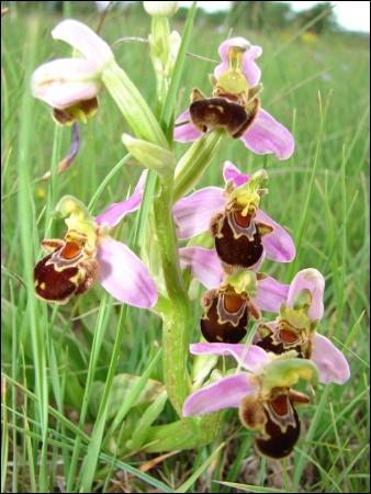 Comment se nomme cette orchidée ?