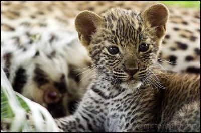 Comment s'appelle le bébé du léopard ?
