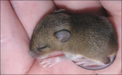 Quel est le bébé de la souris ?