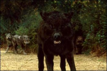 Qui est le loup de la photo ?
