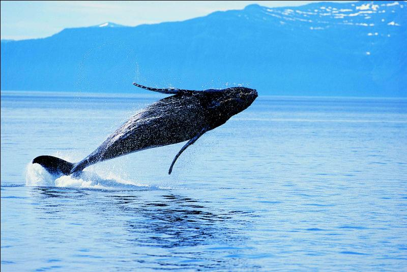 Comment se dit  baleine  en anglais ?