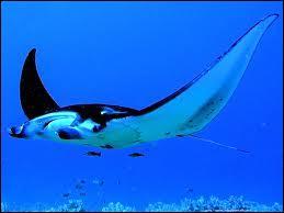 La raie manta ou diable des mers, est un poisson cartilagineux.