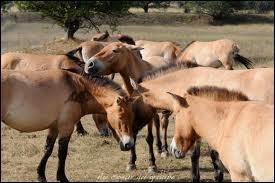 Il y a des chevaux de Przewalski en France.