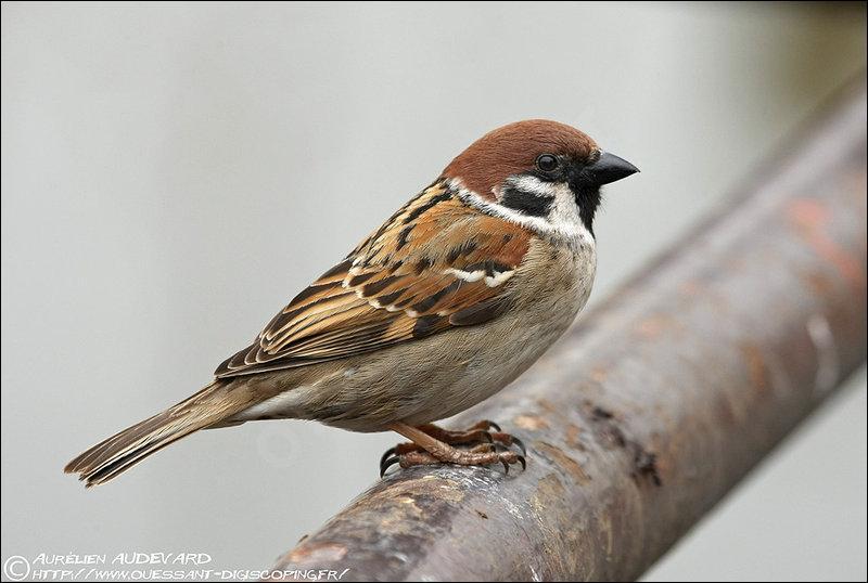 Un pierrot désigne familièrement un oiseau, lequel ?