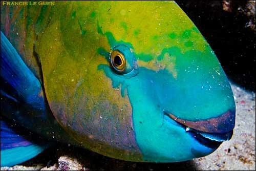 Pourquoi appelle-t-on ce poisson un poisson-perroquet ?