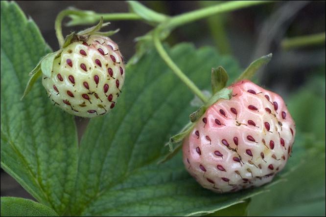 Je vous livre un secret : cette fraise est ma préférée. Elle possède une saveur unique, sucrée, juteuse avec une chair ferme. Un fruit extraordinaire à découvrir, qui surprend par son parfum envoûtant. Il s'agit de la variété :